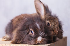 Two adorable lion head rabbit bunnys lying Stock Photo