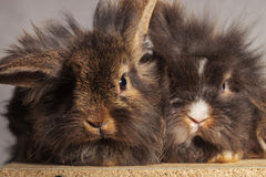 Two adorable lion head rabbit bunnys sitting together Stock Image