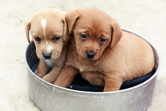 Two adorable little brown puppies in a bowl Stock Images
