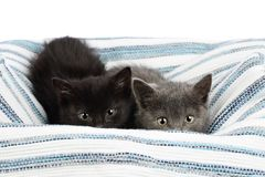Two adorable one and a half months old kittens, grey and black, peeking over a rag carpet. Studio shot of cute baby cat siblings royalty free stock photo