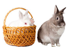 Two adorable pet rabbits Stock Photography