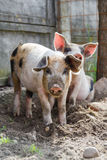 Two adorable piglets Royalty Free Stock Photography