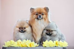 Two pomeranian spitz puppies posing with mother outdoors together Royalty Free Stock Images