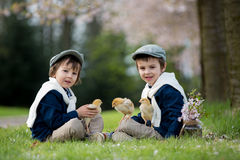 Two adorable preschool children, boy brothers, playing with litt. Le chicks in a cherry blossom garden Stock Photo