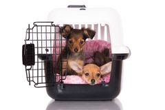 Two adorable puppies in a dog crate. Two red russian toy terrier puppies Stock Photos