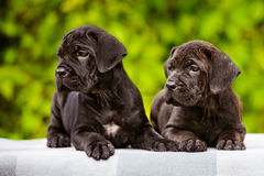 Two adorable puppies Royalty Free Stock Images