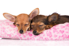 Two adorable puppies sleeping. Two red puppies sleeping together Royalty Free Stock Photos
