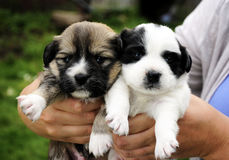 Two adorable puppies Stock Photography