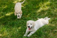 Two adorable puppies together royalty free stock images