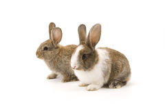 Two adorable rabbits Stock Photography