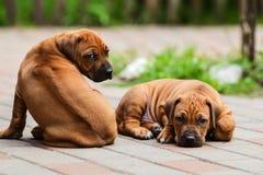 Two adorable Rhodesian Ridgeback resting at the yard Stock Photo