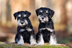 Two adorable schnauzer puppies. Black and silver schnauzer puppies outdoors royalty free stock photo