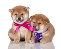 Two adorable shiba inu puppies with ribbons Stock Images