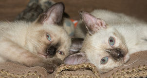 Two adorable Siamese kittens lying down on their sides Royalty Free Stock Photo