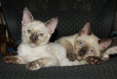 Two adorable Siamese kittens resting on a chair Royalty Free Stock Photo