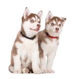 Two adorable siberian husky puppies Royalty Free Stock Photos