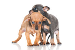 Two adorable small puppies Royalty Free Stock Photo