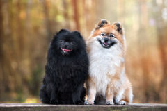 Two adorable spitz dogs posing outdoors together Royalty Free Stock Images
