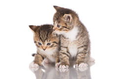Two adorable tabby kittens Royalty Free Stock Image