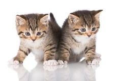 Two adorable tabby kittens Stock Image