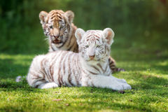 Two adorable tiger cubs outdoors Royalty Free Stock Image