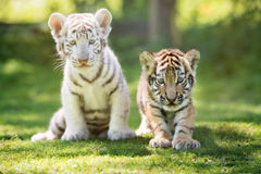 Two adorable tiger cubs outdoors Royalty Free Stock Photo