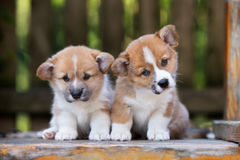 Two adorable welsh corgi puppies Royalty Free Stock Images