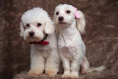 Two adorable white bichons with bowties are looking to side. While sitting on brown fur background Royalty Free Stock Image