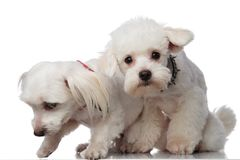 Two adorable white bichons picking up a scent. While sitting on a white background Royalty Free Stock Photo