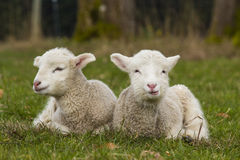 Two adorable young lambs relaxing in grass field Stock Image