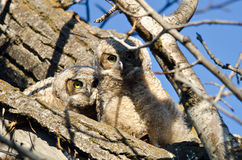 Two Adorable Young Owlets Perched in a Tree Royalty Free Stock Photo