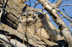 Two Adorable Young Owlets Perched in a Tree Royalty Free Stock Images
