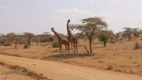 Samburu Reserve Two African Giraffes RUB Against Each Other With Their Necks. Two adult African giraffes stand side by side and rub against each other with their stock video
