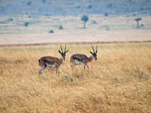 Two adult antelope standing next  Royalty Free Stock Photography