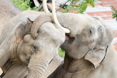Two adult asian elephants cuddling Royalty Free Stock Photo