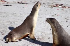 Two adult Australian Sea Lion on the white beach,Kangaroo Island ,South Australia Royalty Free Stock Photos
