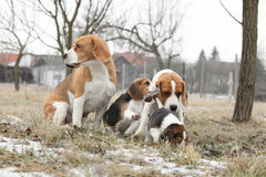 Two adult beagles with two puppies Royalty Free Stock Photos