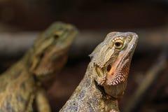 Two adult bearded dragon. (agama, Pogona vitticeps) lizard in terrarium Stock Photos