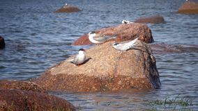 Two adult birds of a seagull and baby bird on a stone in the sea.  stock video footage