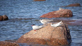 Two adult birds of a seagull and baby bird on a stone in the sea.  stock video