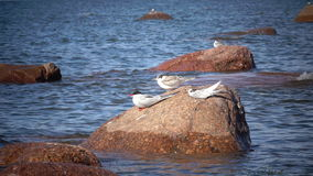 Two adult birds of a seagull and baby bird on a stone in the sea.  stock footage