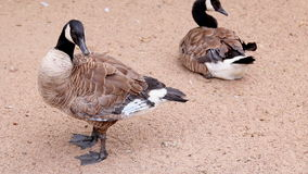 Two adult canadian goose on the banks. Preen their feathers in the summer stock footage