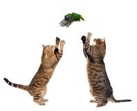 Two adult cats catching bird on white Royalty Free Stock Image