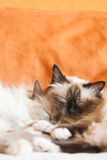 Two adult cats sleeping close Royalty Free Stock Photography