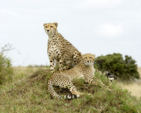 Two adult cheetah, one sitting and one lying on top of a grass covered mound. Closeup two adult cheetah, one sitting and one lying on top of a grass covered Royalty Free Stock Photo