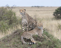 Two adult cheetah, one sitting and one lying on top of a grass covered mound. Closeup two adult cheetah, one sitting and one lying on top of a grass covered Royalty Free Stock Image