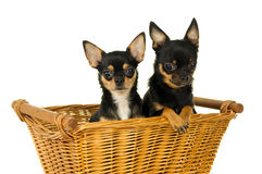 Two adult chihuahua dog sitting Royalty Free Stock Photos