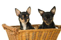 Two adult chihuahua dog sitting in a basket Stock Photos