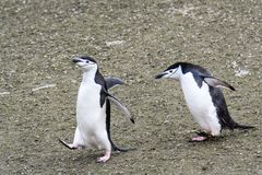 Two adult Chinstrap penguins chasing each other across the dirt, Aitcho Islands, South Shetland Islands, Antarctica royalty free stock photos