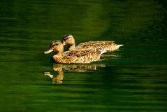 Two adult common ducks Royalty Free Stock Image